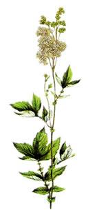 callifugo murroni la pianta